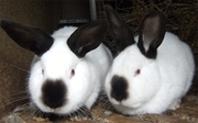 Предлагаем заняться кролиководством-как альтернативным бизнесом!