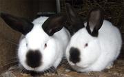 Предлагаем заняться кролиководством-как прибыльным бизнесом!