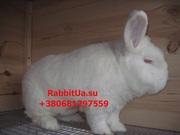 Продам кроликов породы Новозеландский Белый