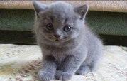 Шотландская плюшевая кошечка