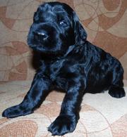 Продам щенков ризеншнауцера