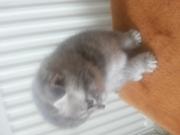 Продам породистых шотланских котят.