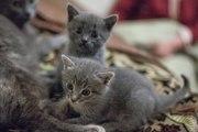 отдам котят русской голубой кошки в хорошие руки