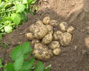 картофель продовольственный,  картофель семенной