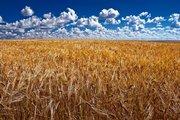 Предлагаем пшеницу на экспорт