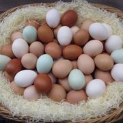 Инкубационное яйцо породы ред Бро