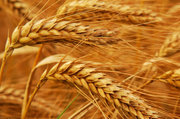 Пшеница,  ячмень,  кукуруза,  соя,  рис,  cахар тростниковый