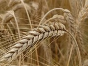 Пшеница,  ячмень,  кукуруза