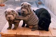 Китайский шар-пей щенки голубого и черного окраса.